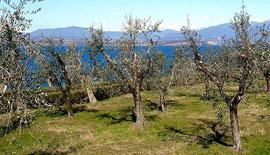 Olijfolie van het Gardameer