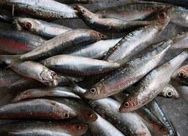Vis uit het Gardameer